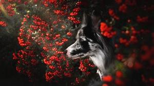 Dog Pet Berry 2048x1366 Wallpaper