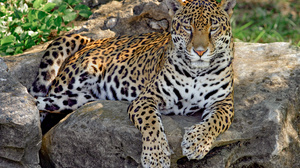 Animal Jaguar 3072x2048 Wallpaper