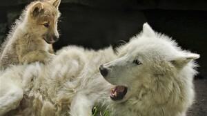 White Wolf Predator Animal Baby Animal 2000x1333 wallpaper