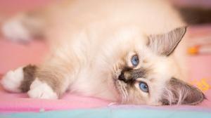 Cat Pet Ragdoll 4673x2694 Wallpaper