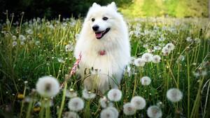 Dog Field Dandelion 4576x2860 Wallpaper