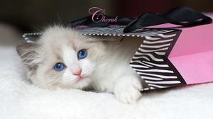 Animal Bag Cat Fluffy Kitten White 2048x1162 Wallpaper