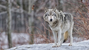 Wildlife Wolf Predator Animal 2000x1331 Wallpaper