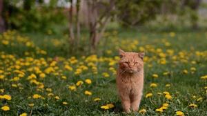 Cat Dandelion Depth Of Field Pet 4736x3158 Wallpaper