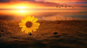 Artistic Daisy Flower Sand Sunset Yellow Flower 2017x1080 Wallpaper
