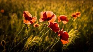 Depth Of Field Flower Nature Poppy Red Flower Summer 2048x1300 Wallpaper