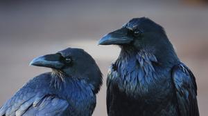 Animal Bird Black Crow 3000x2000 Wallpaper