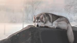 Dog Husky Pet 3000x1922 Wallpaper