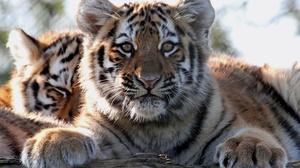 Cub Baby Animal Wildlife Big Cat 3000x2029 Wallpaper