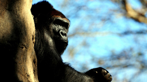 Animal Gorilla 2560x1600 Wallpaper