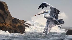 Bird Pelican Wildlife 3840x2160 Wallpaper