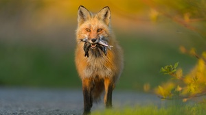 Fox Wildlife 2000x1331 wallpaper