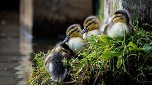 Baby Animal Bird Duck Duckling Wildlife 3840x2160 wallpaper