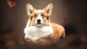 Corgi Dog Pet 2048x1365 Wallpaper