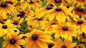 Black Eyed Susan Flower Yellow Flower 3840x2400 wallpaper