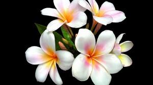 Earth Flower Frangipani Plumeria White Flower 1920x1440 Wallpaper