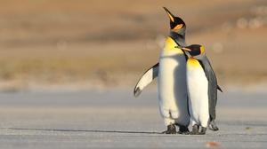 Baby Animal Penguin Wildlife 2000x1333 wallpaper