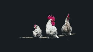 Animal Rooster 2000x1333 Wallpaper