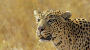 Animal Leopard 2400x1602 Wallpaper