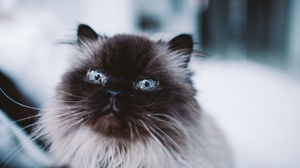 Blue Eyes Cat Pet 2048x1365 wallpaper