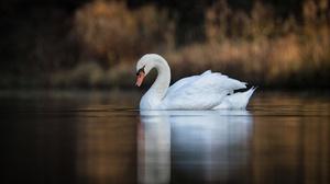 Bird Blur Lake Swan 4200x2598 Wallpaper