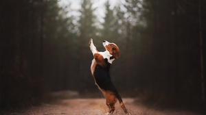 Beagle Depth Of Field Dog Pet 2048x1365 wallpaper