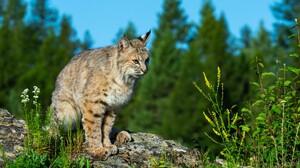 Wildlife Nature Lynx Bobcat Big Cats 4095x2726 Wallpaper