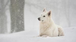 Berger Blanc Suisse Dog Pet Snow Snowfall Winter 3840x2560 Wallpaper