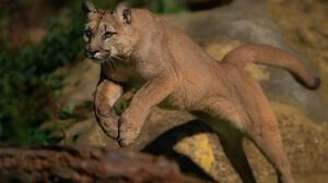 Nature Wildlife Feline Big Cats Mammals Pumas 3880x2586 Wallpaper