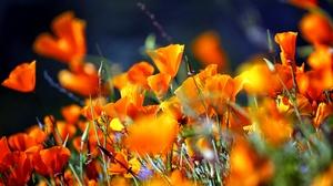 Flower Orange Flower Nature Close Up 5886x3759 wallpaper