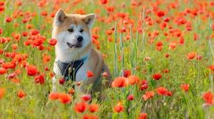 Dog Meadow Flower Poppy Pet 2048x1152 Wallpaper