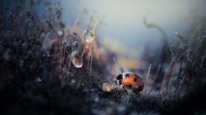 Vladlena Lapshina Ladybugs Insect Depth Of Field Photography Nature Outdoors Dew 2500x1666 Wallpaper