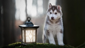 Dog Husky Lantern Pet Puppy 2048x1365 Wallpaper