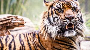 Animal Tiger 4489x2993 wallpaper