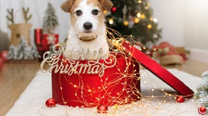 Baby Animal Christmas Lights Dog Merry Christmas Parson Russell Terrier Pet Puppy 2000x1333 Wallpaper