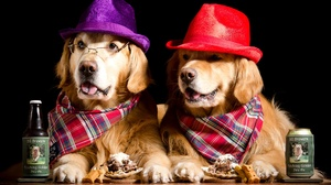 Dog Golden Retriever Hat Humor Pet 2048x1275 Wallpaper