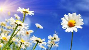 Daisy Flower Nature Summer Sunbeam White Flower 5342x3235 Wallpaper