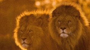 Big Cat Lion Wildlife Predator Animal 4121x2763 wallpaper