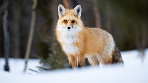 Fox Wildlife 2048x1241 wallpaper