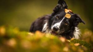 Border Collie Dog Pet 6016x4016 Wallpaper