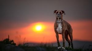 Boxer Dog Depth Of Field Dog Sunset 2048x1365 Wallpaper