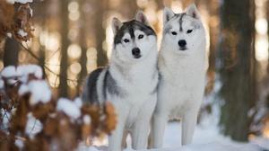 Dog Husky Pet Winter 2048x1366 Wallpaper