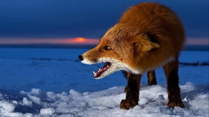 Animal Fox 1680x1050 Wallpaper
