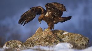 Bird Bird Of Prey Eagle Wildlife 2046x1258 wallpaper