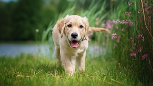 Baby Animal Depth Of Field Dog Labrador Retriever Pet Puppy 2048x1365 Wallpaper