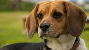 Animal Beagle Cute Dog Face 2560x1600 wallpaper