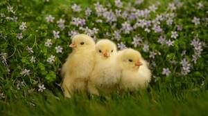 Chick Cute Fluffy Flower 1920x1200 Wallpaper