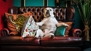 Bulldog Dog Pet Sofa 3840x2160 Wallpaper