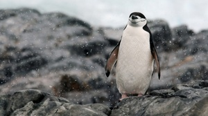 Bird Penguin Rock Snowfall Wildlife 2048x1404 Wallpaper