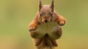 Jump Rodent Squirrel Wildlife 3093x2200 Wallpaper